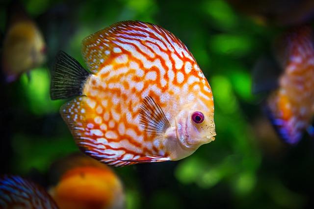 discus-fish-1943755 640