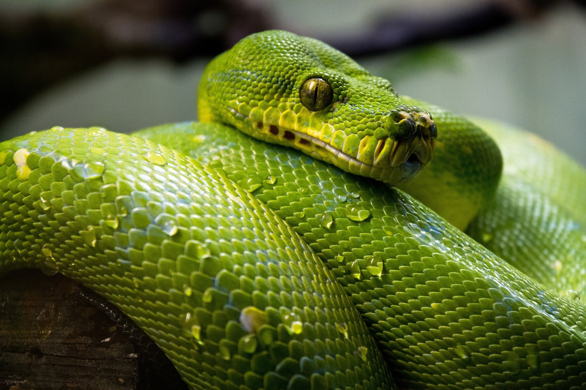 green-tree-python-1014229 1920